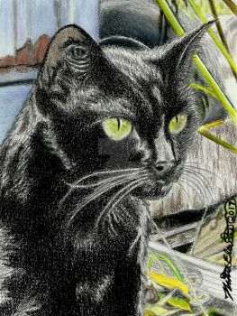 Black Cat, colored pencil drawing by nethompson