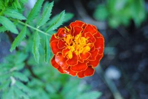 Red and Yellow Marigold by charliemarlowe