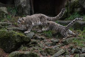 Snow Leopard 61 by CastleGraphics