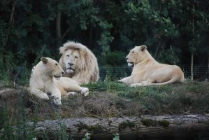 White Lions by NicamShilova