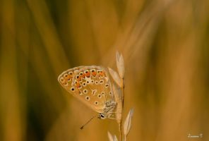 butterfly at sunset by ZuzannaT
