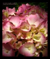 Hydrangeas for Esther by Jenna-Rose