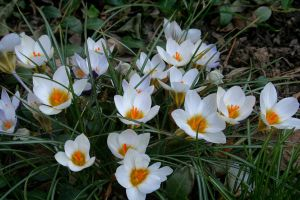 White Crocuses by desmo100