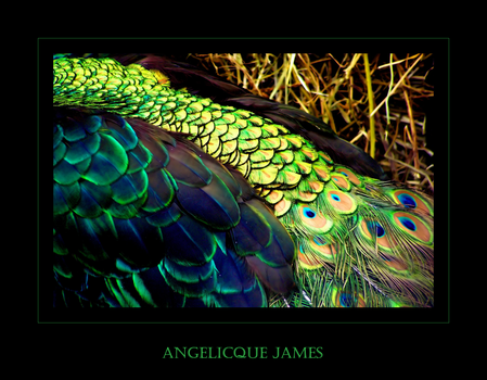 Peacock III by angelicque
