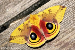 Male Io Moth by euphmusic311