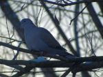 Wood Dove by wolfwings1