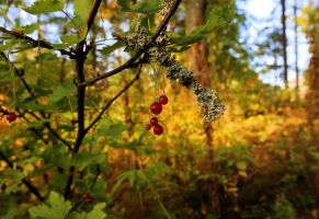 Red currant by KariLiimatainen