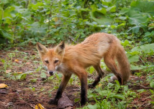 Return of my friend Ginger, the red fox 23 by Nini1965