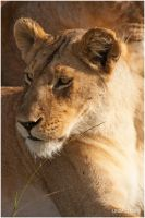 The Look of  a Lioness by KonikPolski
