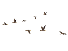 Flying Birds 04 PNG Stock by Roy3D