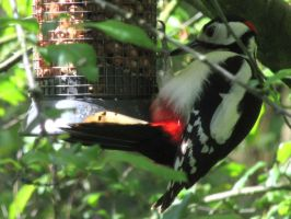 Great spotted woodpecker by handtoeye