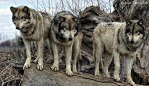 the three little wolves by Yair-Leibovich