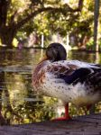How cool is this duck, right? by Mop-of-the-Bucket