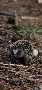 Hedgehog by darks