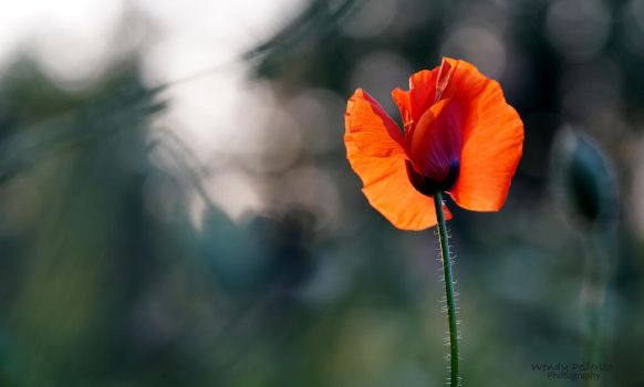 Staring at the Poppy by wendy-pellerito