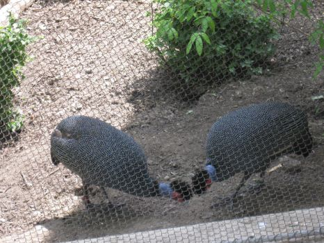 Kenya Crested Guineafowl by Fireborn46