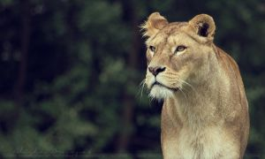 Lioness. by Ravenith