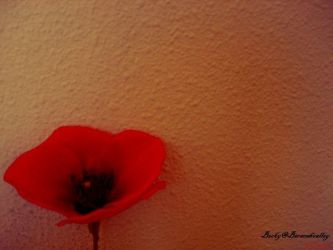 Gleaming poppy by Beracahvalley