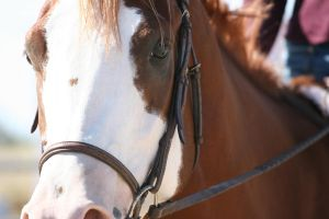 Chesnut Paint Gelding Hunter Under Saddle by HorseStockPhotos