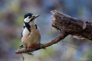 Great spotted woodpecker by ErikEK