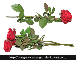 Red roses by margarita-morrigan