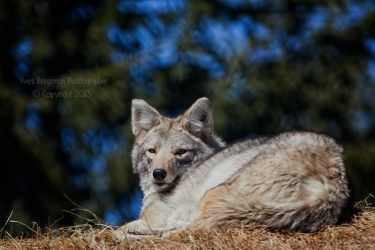 Coyote by Sagittor