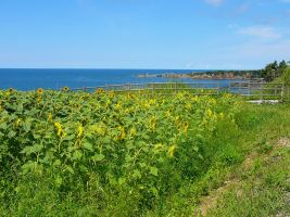 Sunflowers Looking North by katters