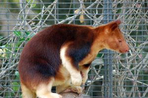 Red Tree Kangaroo by kristenadams