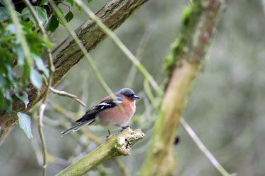 Chaffinch in the trees. by Justin14100
