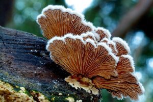 Schizophyllum commune by stopwhispering81