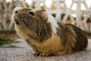 Guinea Pig (7) by krisstock