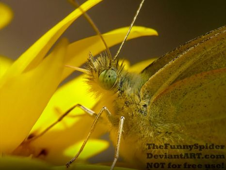 Cabbage Butterfly close up - Pieris brassicae by TheFunnySpider