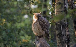 Fluffy Owl by sgt-slaughter
