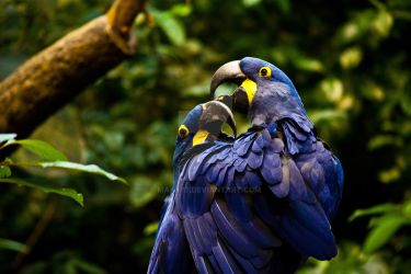 Blue Macaws by Makii-17