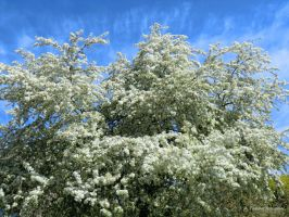 white blooms of a tree by TanteTabata