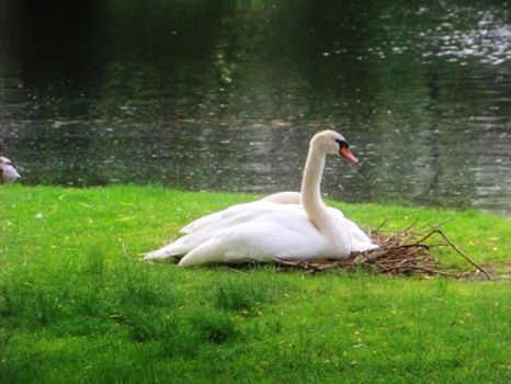 Boston Commons Swan by hellbent1363