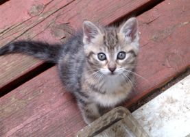 Thick striped kitten looking up 3 by Ripplin
