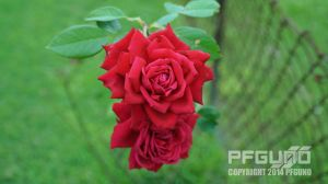 Red Roses by pfgun0