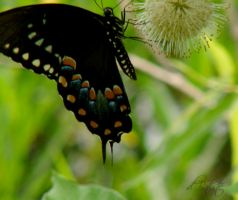 Swallowtail  Passion by DesiaB
