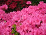 Azalea Explosion by FicktionPhotography