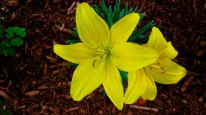 Yellow lillies by TortueBulle