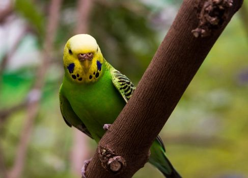 Green and Yellow Budgie by Katiemarie