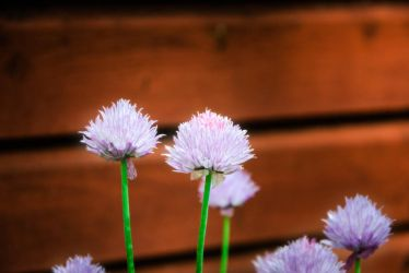 Chives by RobertKohler