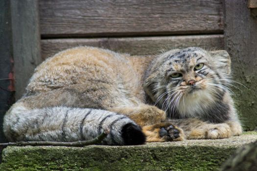Manul cat by Utopia308