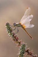 For the love of dragonflies II by buleria