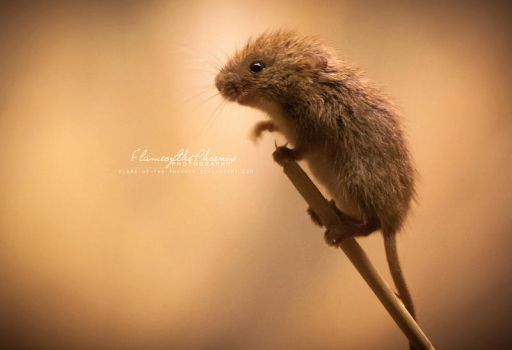 Harvest Mouse: Climb by Flame-of-the-Phoenix