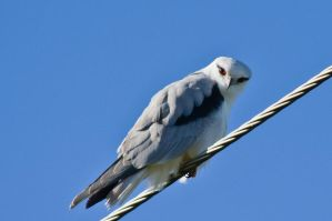 Black Shouldered Kite by no-soap-was-harmed