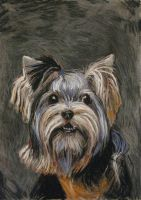 Yorkie by milanglo