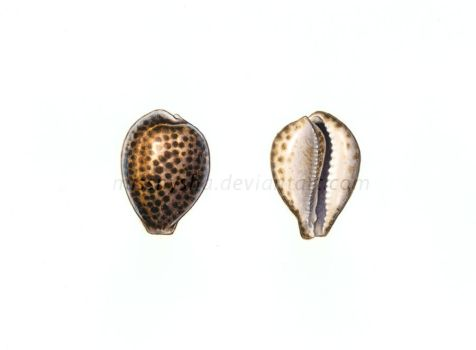 Tiger cowrie by MissNysha