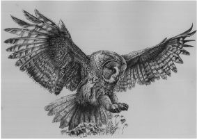 Great grey owl by Concini